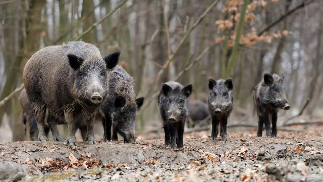 Bewildering Boar: Changing Cosmopolitics of the Hunt in Europe and Beyond